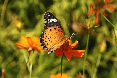 蝶 ツマグロヒョウモン1