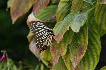 蝶 アカボシゴマダラ1
