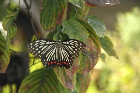 蝶 アカボシゴマダラ