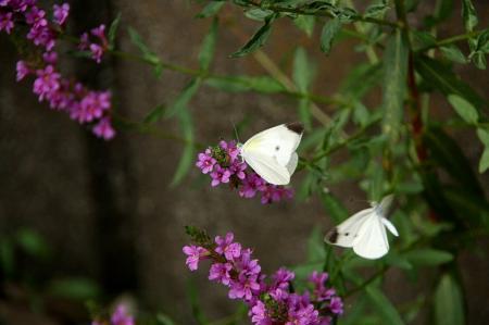 蝶 モンシロチョウ