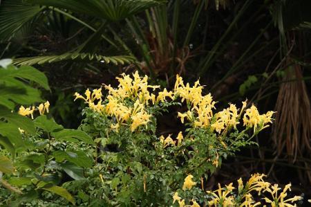 ヒメノウゼンカズラ 黄1