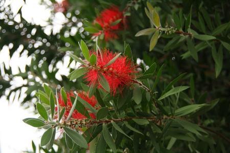 ブラシの木1