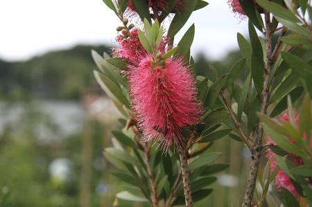 ブラシの木 ピンク
