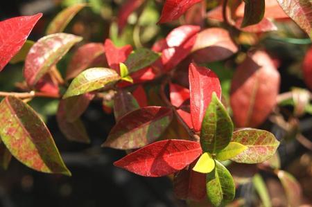 紅葉 ブルーベリー