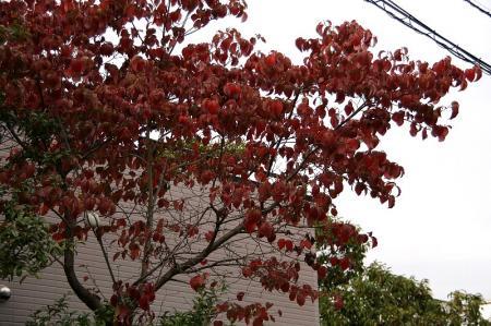紅葉 花水木