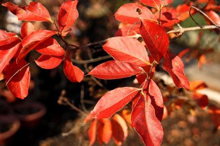 紅葉 サルスベリ