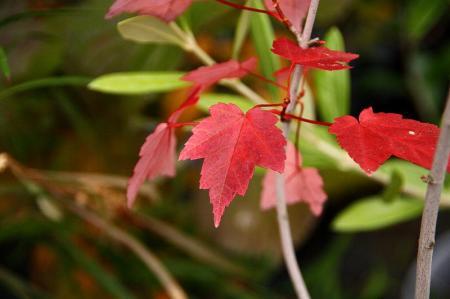 紅葉 アメリカハナノキ1