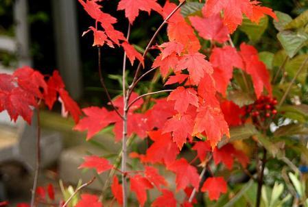 紅葉 アメリカハナノキ