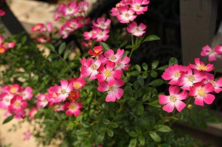 ミニバラ ピンク1