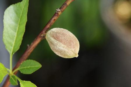 アーモンドの種