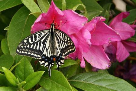 アゲハ蝶1