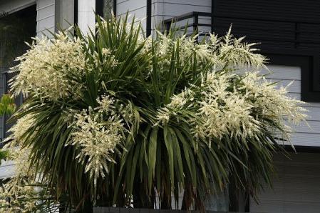ヤシの花1
