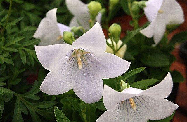 キキョウ 白花