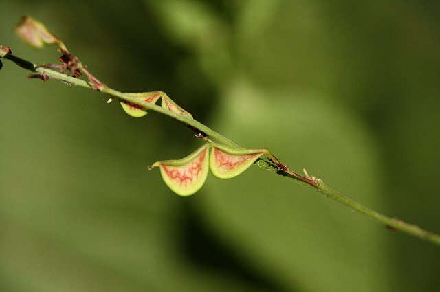 ヌスビトハギ 種