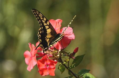 蝶 キアゲハ