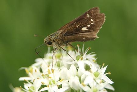蝶 セセリ