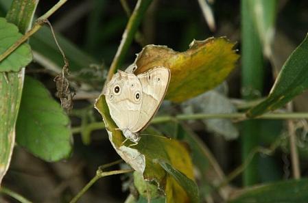 蝶 ヒカゲ