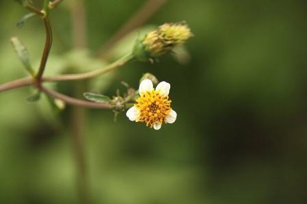 小白栴檀草