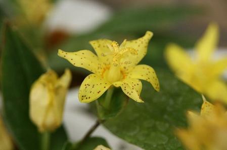 黄花ホトトギス1