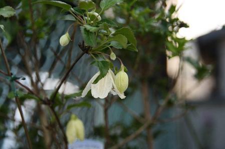 冬咲きクレマチス1