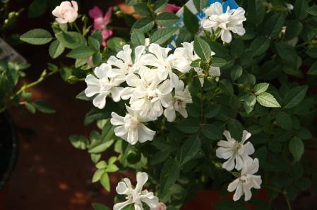 ミニバラ 蓮華咲き1
