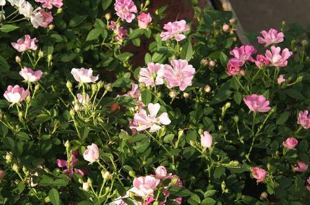 ミニバラ 蓮華咲き