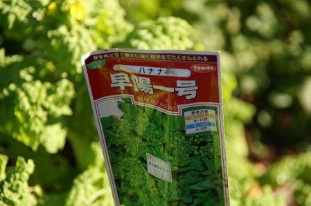 寒咲き花菜1