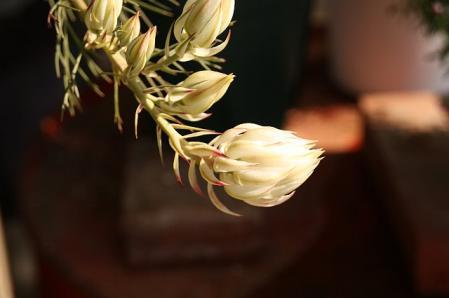 blushing bride セルリア