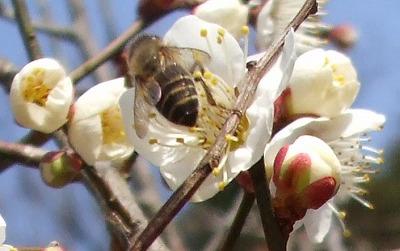 梅の花に訪花