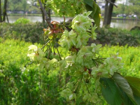 御衣黄・北山池公園(新潟市江南区)2010