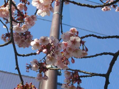 万代長嶺小学校の桜2011