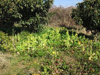 ビワ と菜の花