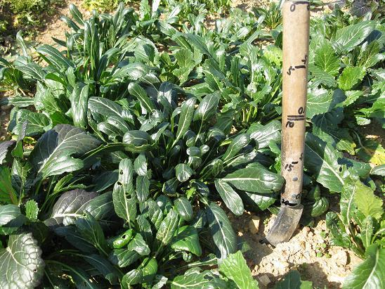 H21.2.7 野菜 ミブナ  042