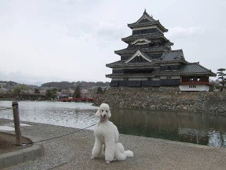 松本城 桜2