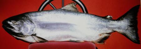 オホーツク産新巻鮭山漬け1,5kg-2kg