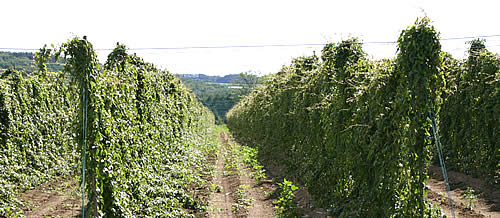 安孫子フォームの長いも(ナガイモ)は、EM農法