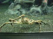 小樽水族館 蟹
