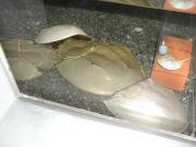 小樽水族館 カブトガニ