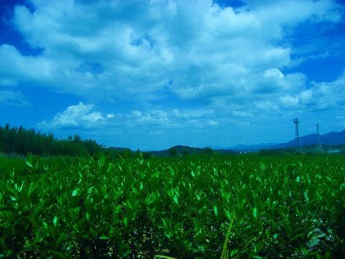 茶畑と夏の空