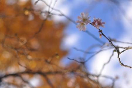 冬桜と効用