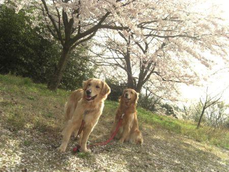 桜とアリスと蘭