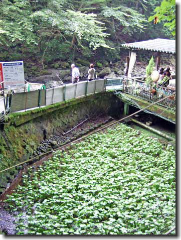 浄連の滝 わさび園
