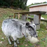 シェーブル しまヤギ