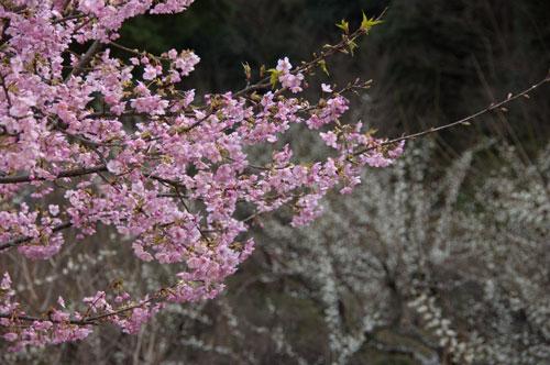 長楽寺 河津桜1