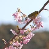 長楽寺 河津桜とメジロ2