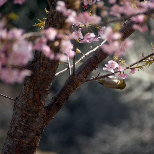 長楽寺 河津桜とメジロ4