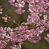長楽寺 河津桜とメジロ5