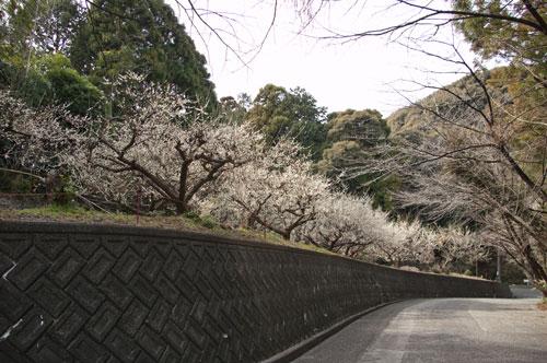 長楽寺 梅トンネル