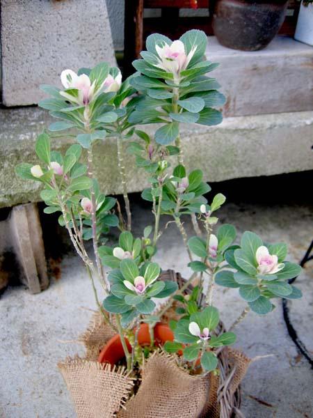 ヒョロヒョロ葉牡丹