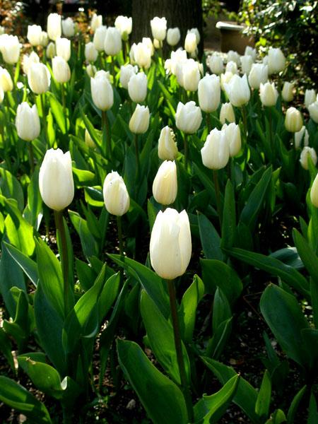 冬咲きチューリップ2